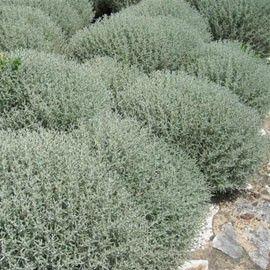 Petit arbuste décoratif pour son feuillage argenté, persistant et aromatique…