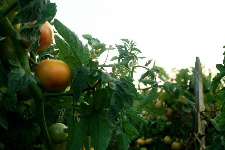 Warzywa i owoce – obierać, czy nie obierać?   Zastanawiasz się czasem, jak to jest z tymi owocami i warzywami? Obierać je, nie obierać? Przecież na skórce są pestycydy… Z drugiej strony pod skórką jest najwięcej wartościowych składników… Co robić? A może nie obierać, tylko kupować wyłącznie te z upraw ekologicznych…? I wydawać na nie całą wypłatę…? Czy warzywa i owoce z supermarketu są niejadalne? Jak się w tym wszystkim odnaleźć?