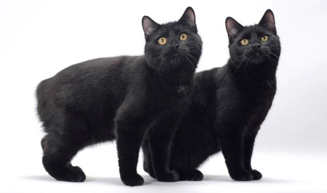 Manx Cat Breed Information Cat Breeds Manx Kittens Manx Cat