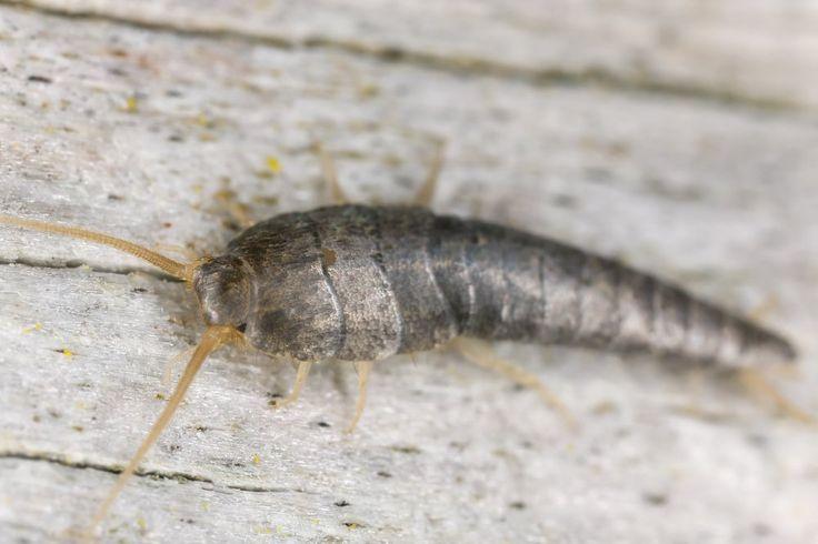"""Silberfische wirksam bekämpfen Silberfische sind ca. einen Zentimeter lang. Sie haben eine silberne, leicht schimmernde Haut. Bei vielen Menschen lösen die kleinen Tierchen Ekel aus. Die Insekten fühlen sich vor allem in oftmals feuchten, schlecht gelüfteten Räumen wohl. Bad, Keller und Küche sind oftmals ein Paradies für Silberfische. Es gibt unzählige """"chemische Keulen"""" um den …"""