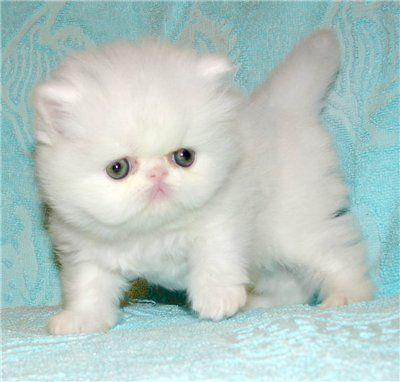 Картинки по запросу морда персидского кота