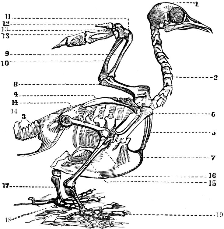 bird skeleton description skeleton of a bird  1  the head