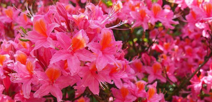 Azaleea este o plantă originară din zone cu temperaturi calde, permanent verde, cu frunze mici căzătoare și flori foarte frumoase. Este sensibilă și are nevoie de o îngrijire atentă.