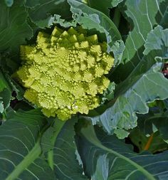 Learn how to grow romanesco, growing romanesco broccoli is rewarding. It is a very decorative and ornamental cauliflower with exotic taste.