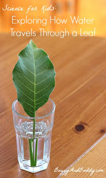 Such a fun science experiment for spring! Includes a FREE printable observation sheet! (Science Experiment for Kids: How Water Travels Through Leaves