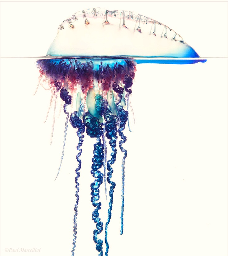 Portuguese Man O' War (Physalia physalis), pneumatophore+tentacles. highly integrated polymorphic polyps and medusoids, tentacles can harm small fish but rarely deadly to humans.