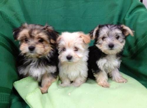 Adorable Morkie (Maltese / Yorkie) Puppies