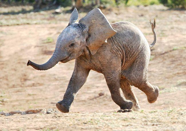 Running Smiling Elephant!!!