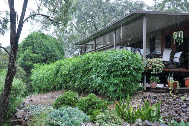 3m Chinese Dwarf Bamboo | Bambusa guangxiensis from Bamboo Land Nursery (QLD Australia)