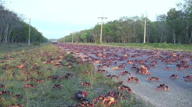 Land Crab Migration | http://www.youtube.com/watch?v=rMnrb7ET8T4&feature=fvwrel