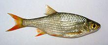 Sørv, Flossmort, Planke - Scardinius erythrophthalmus. Karpefamilien. Ferskvann. Områdene rundt Oslofjorden til Rogaland. Vanlig størrelse varierer med den aktuelle vannforekomsten; noen steder danner den tette bestander der fisk over 200-300 gram er sjeldne, mens den andre steder kan nå størrelser på godt over 1 kilo.Norgesrekord: 1420 gram (2011).  Ufisk: kan forringe drikkevann ved beite på småfisk + tilfører vannet næringssalter ved avføring, og dermed øke alge/grønskevekst.