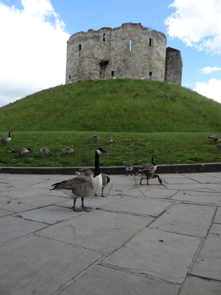 Canada Goose / Kanadagås / Branta canadensis. Clifford's Tower, York, Great Britain. June 2014