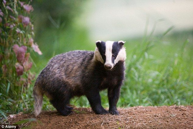 Badgers are widespread and watching your local sett is one of the best ways to engage with and understand the mystical world of nocturnal wildlife in your area