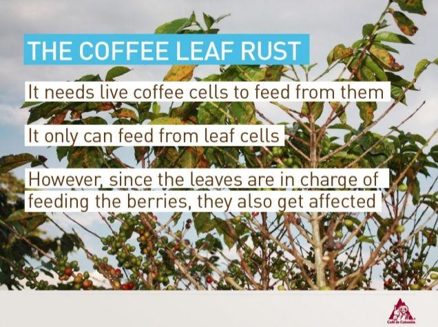 The Coffee Leaf Rust