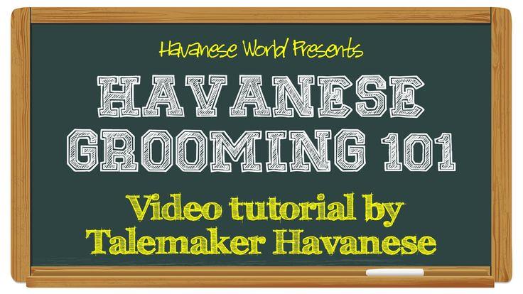 Havanese Grooming 101