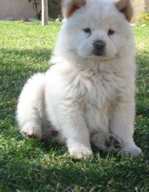 white/cream chow chow