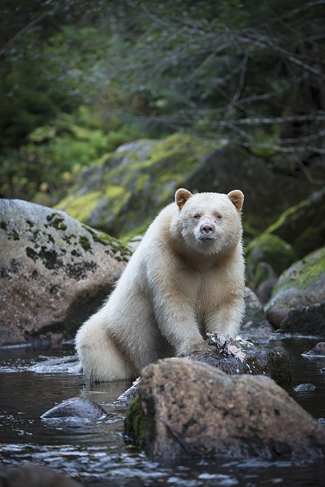 A Kermode bear (a.k.a. spirit bear), a subspecies of the North American black bear, stands in the waters of the Great Bear Rainforest, located along British Columbia's central and northern coast. By Bill Cubitt