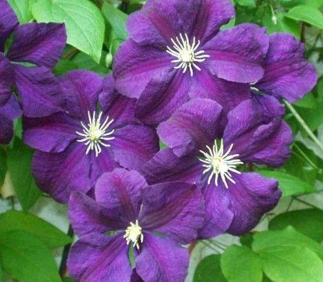 Bosrank - Clematis 'Etoile Violette' Bladverliezende klimplant tot 3 - 4 meter hoogte. Bloemen halfknikkend violetpaars. Bloeitijd juli - september. Rijk bloeiend. Zon - halfschaduw. Vruchtbare grond. Na de winter evt. snoeien. Zeer winterhard.