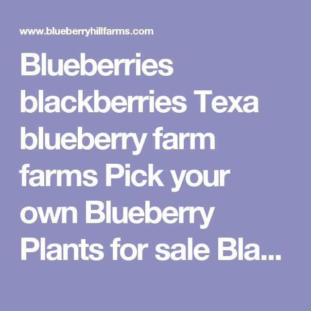 Blueberries  blackberries  Texa blueberry farm  farms  Pick your own Blueberry Plants for sale Blackberry Plants for sale, Pick 'n Edom Edom, TX Driving Directions