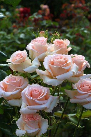 Hybrid Tea Rose: Rosa 'Cubana' (Germany, 1988)