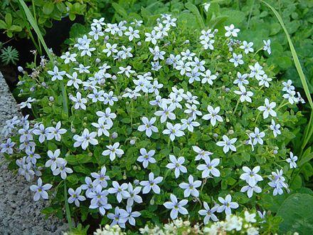 Pratia pedunculata/Lobelia pedunculata/blue star creeper: Australian, mat-forming, hard wearing, damp loving, fast growing ground cover. Use with care; invasive and hard to remove.