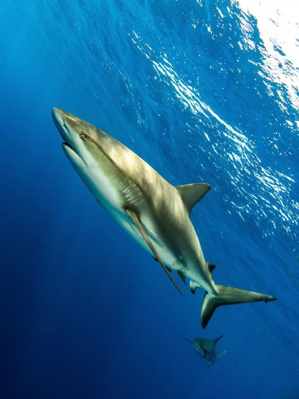 Reef sharks in open water.  Compact camera with wide angl... by Paul Colley
