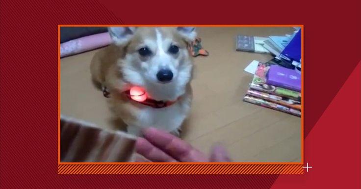 Biólogo japonês inventa coleira que identifica as emoções dos cachorros