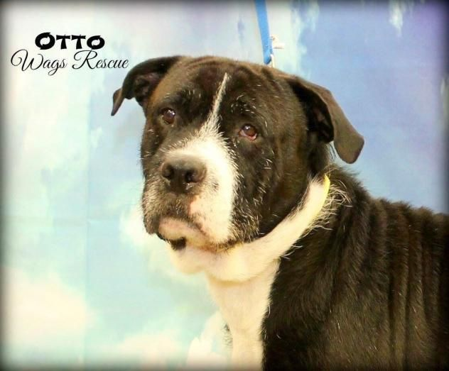 Otto H Wilson - Otterhound/Labrador Retriever mix - Male - 3 yrs old - Wags Rescue and Referral - Feasterville, PA. - http://www.wagsrescue.com/ourdogs.php - https://www.facebook.com/wagsrescue/ - https://www.petfinder.com/petdetail/35107669