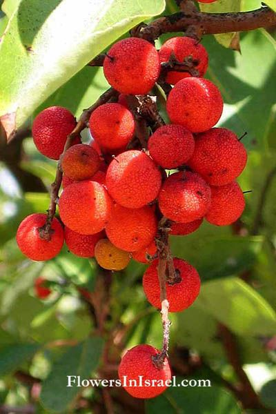 Arbutus andrachne is an edible fruit tree. The fruit is edible raw or cooked, with a luscious, juicy texture with sweet but insipid flavour.