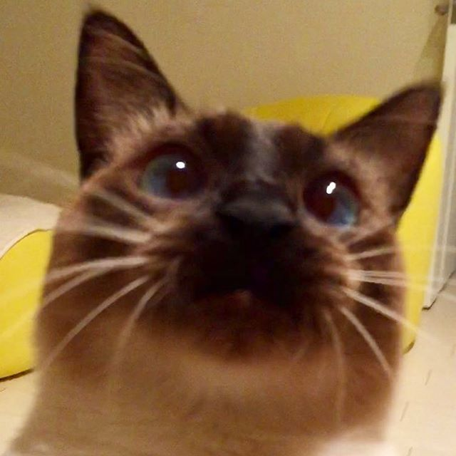 お願いします😽👀✨🐓 こんな顔されるともっと焦らしたくなる悪い母ちゃんです😍  #cat#猫#ねこ#ネコ#愛猫 #ラグドール#ロシアンブルー#mix #Russian Blue #Ragdoll #ご機嫌#元気#甘えん坊##ひょうきん#三枚目#フリーズドライのササミ#まだブームは続いてる#違いのわかる男#おねだり#焦らす #イケニャン#フェリシモ猫部