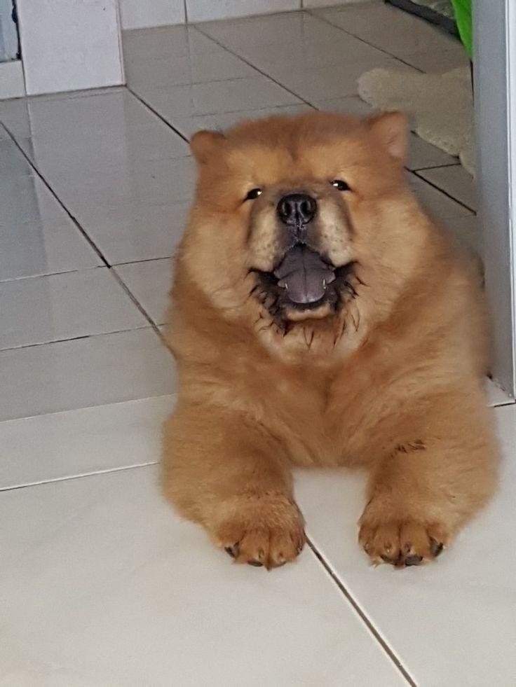 Sebastian Sebastian Chows Dogs Chow Chow Dogs Fluffy Dogs