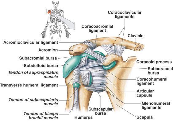 24 Best Shoulder Joint Images On Pinterest Shoulder Joint Anatomy