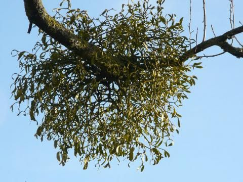 Mistletoe: give us a kiss | The Nature of Dorset