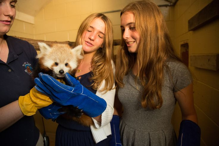 Students provide daily care for our Red panda cubs, who were born in May of 2014.