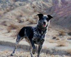 1000+ images about Hilo's Peeps on Pinterest | Cattle ... Border Collie Australian Cattle Dog Lab Mix