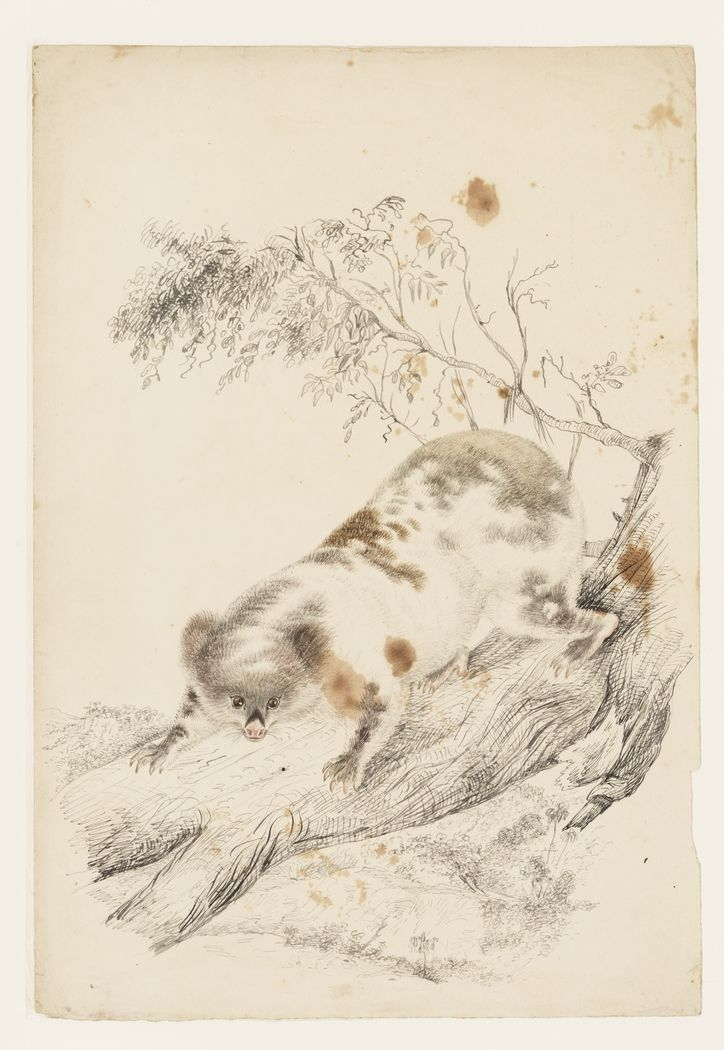 This pencil sketch of a koala is attributed to Louisa Atkinson. From the album Natural history and botanical drawings, ca. 1849-1872. Mitchell Library, State Library of New South Wales:http://www.acmssearch.sl.nsw.gov.au/search/itemDetailPaged.cgi?itemID=446170