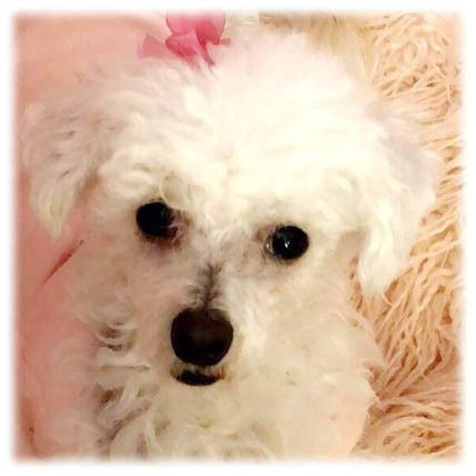 Meet Noel, a Dog, at Bichon Rescue Brigade on Petfinder.