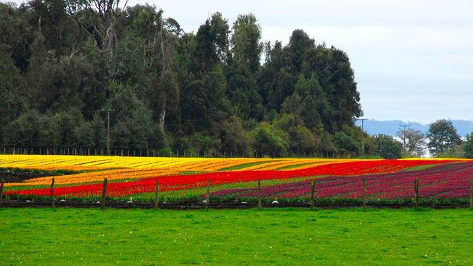 Panorama de tulipanes - Osorno / Puyehue, Autor: Jorge González