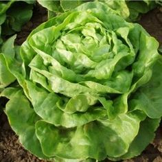 Buttercrunch is an improved Bibb type lettuce with larger heads and better bolt resistance. Tender, crispy, and tasty with exceptional heat tolerance.  1963 All American Selections winner. Average: 65 days