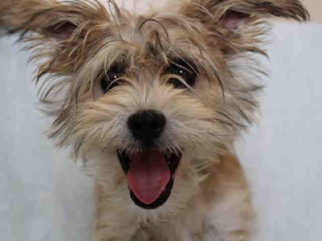 What a look! Someone will be sure to snatch her up quickly.: Sweet, I Love A Dogs, Heart Animal, Quick, Dogs Miracle, Adorable Animal, Snatch, Cairn Terriers