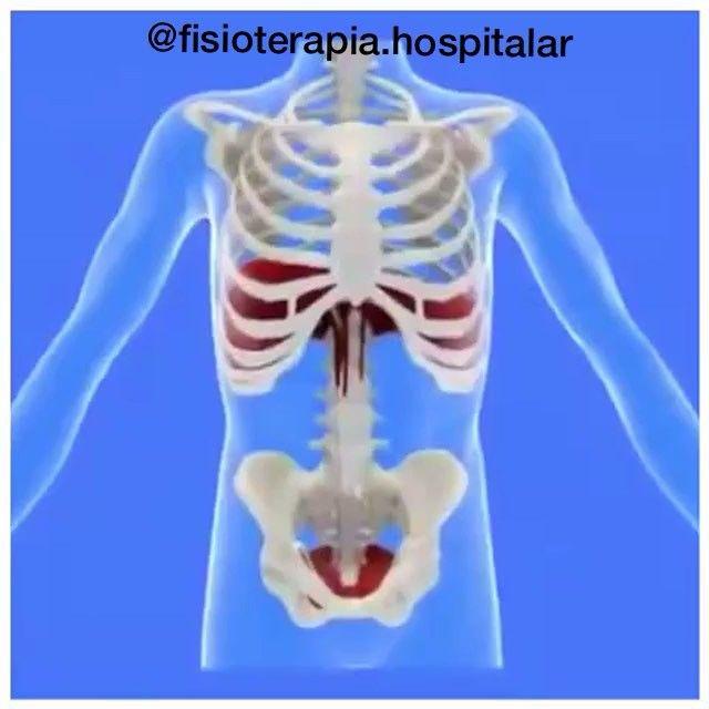 DIAFRAGMA: Origem: Face interna das 6 últimas costelas, face interna do processo xifóide e corpos vertebrais das vértebras lombares superiores  Inserção: No tendão central (aponeurose)  Inervação: Nervo Frênico (C3 - C5) e 6 últimos nervos intercostais (propriocepção)  Ação: Inspiratório, pois diminui a pressão interna da caixa torácica permitindo a entrada do ar nos pulmões, estabilização da coluna vertebral e expulsões (defecação, vômito, micção e parto). ✅Curta nosso facebook…