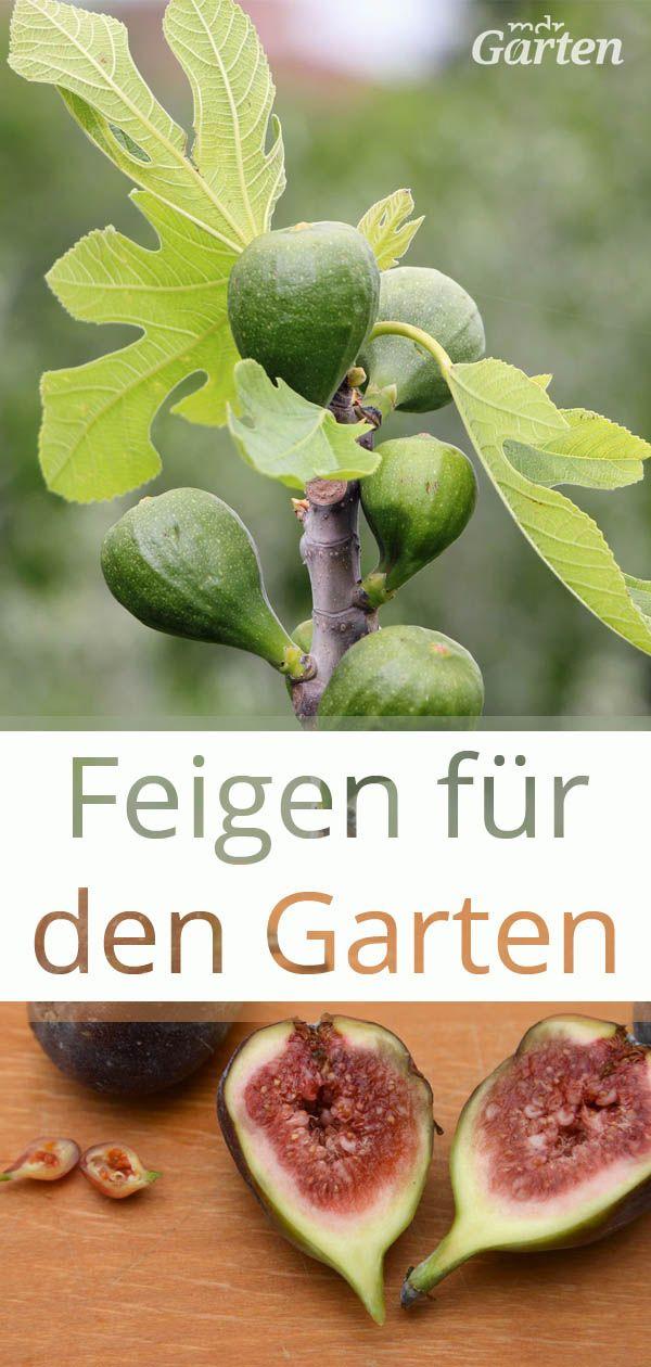 Feigenbaume Pflanzen Pflegen Und Vermehren Feigenbaum Pflanzen Feigen Pflanzen