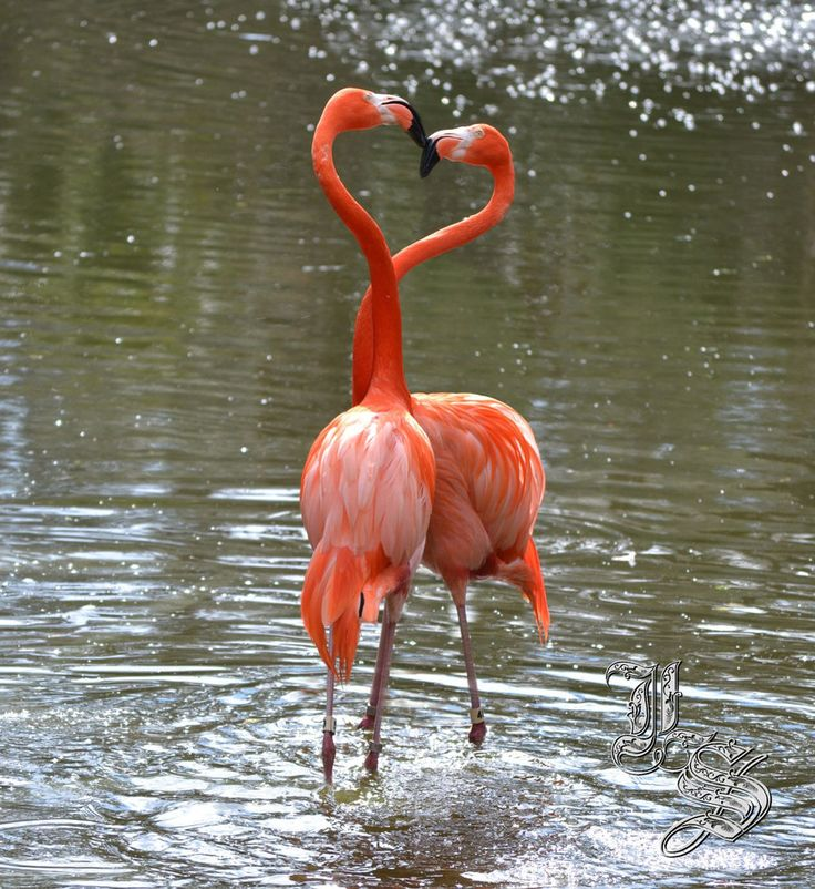 Google Image Result for http://fc01.deviantart.net/fs70/i/2011/039/7/f/flamingo_heart_by_laurenel-d3922kq.jpg