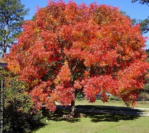 The 25 best chinese maple tree ideas on pinterest unique flowers amazing flowers and unusual - Decorative trees with red leaves amazing contrasts ...