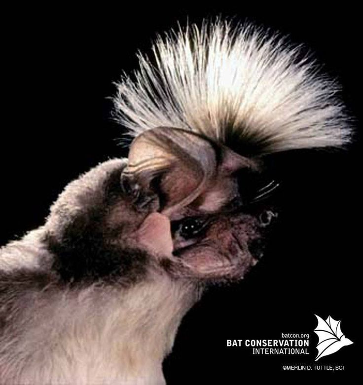 It's Monday!! Time to try a new hair-style, like the Chapin's free-tailed bat, to brighten your start to the week!  Male Chapin's bats perform a spectacular mating display by expanding long hairs on top of the head similar to a peacock spreading its tail. Sexy!