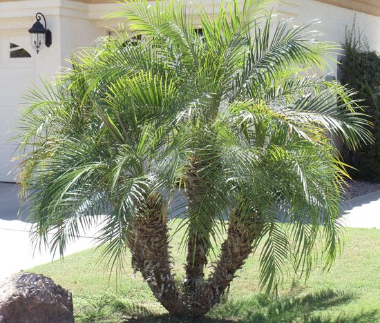 Palm Trees | Palm Tree Nursery | Palm Trees for Sale Mesa, Gilbert, and Queen Creek