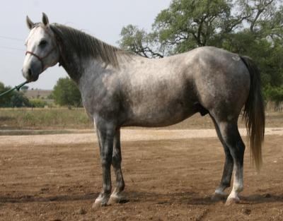 Wagon Wheel Ranch Quarter Horses www.WagonWheelRanch.com  Mr Forty Six King  2004 Gray Stallion 46.484% King P-234 14.2 HH & 1,125 lbs.