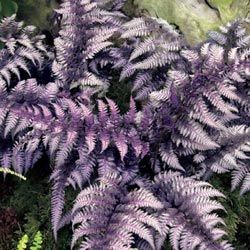 "Burgundy Lace Japanese Painted Fern is a herbaceous perennial that is resistant to deer and extreme weather. Zones 5-8. Grows in part to full shade to about 12"" tall."