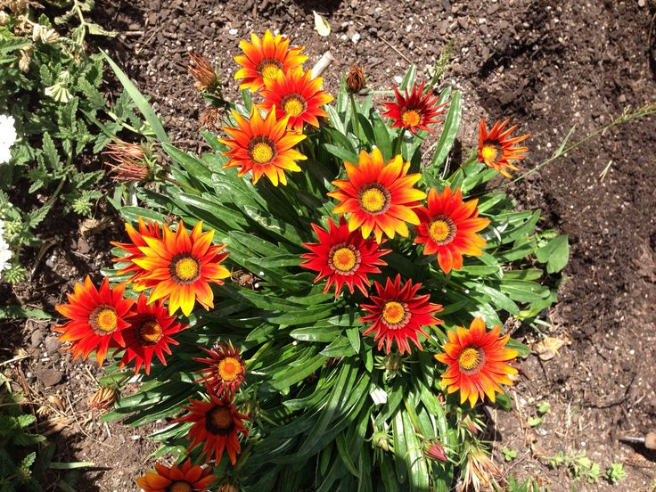 GAZANIA red brick