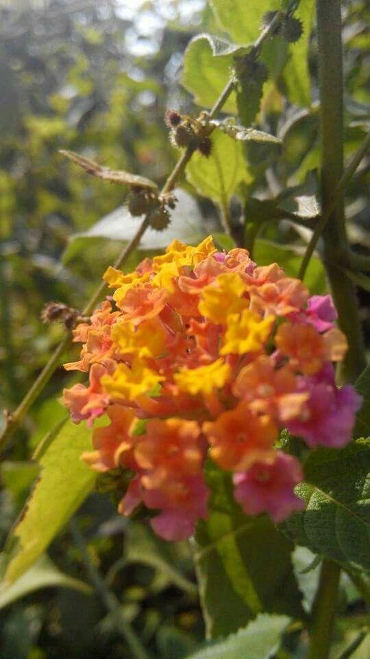 Seruni flower